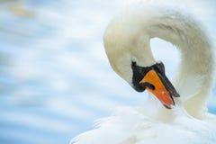 El agua del color del verano del lago del pájaro de la naturaleza del cisne vive imágenes de archivo libres de regalías