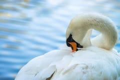 El agua del color del verano del lago del pájaro de la naturaleza del cisne vive foto de archivo