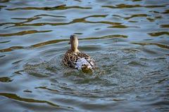 El agua del los patos mueve hacia atrás El pato femenino del pato silvestre emergió de una zambullida con agua del lago que fluía imagen de archivo libre de regalías