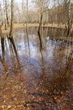 El agua derramó e inundó los abedules blancos en el bosque de la primavera Imagenes de archivo