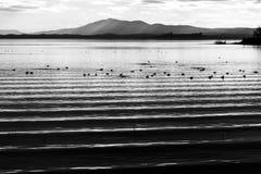 El agua hermosa y aguda ondula en el lago Umbría, Italia Trasimeno en la puesta del sol, con los patos y las colinas distantes Foto de archivo