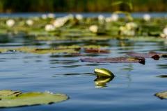 el Agua-lirio es blanco Fotografía de archivo