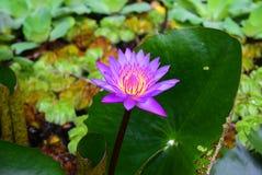 El agua magnífica lilly foto de archivo