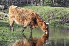 El agua potable de la vaca Fotografía de archivo