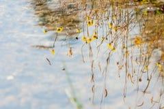 El agua refleja con la hierba y la flor amarillas en el prado Imágenes de archivo libres de regalías