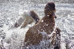 El agua vuela mientras que un pato silvestre toma un baño vigoroso fotos de archivo