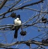 El aguzanieves de Willie se encaramó en un árbol de goma seco. Fotografía de archivo