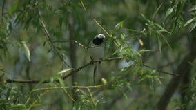 El aguzanieves se está sentando en una rama de árbol metrajes