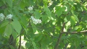 El aguzanieves se está sentando en una rama de árbol almacen de video
