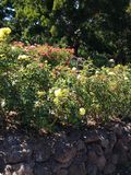 El ajardinar y arbustos color de rosa Foto de archivo libre de regalías