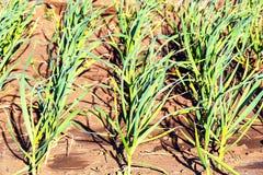El ajo está creciendo Plantas jovenes del ajo en el campo, fondo agrícola Las plumas de cebollas verdes y del ajo fotos de archivo libres de regalías