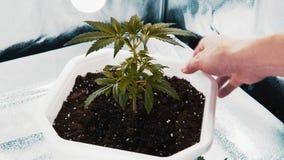 El ajuste de la persona se va de planta de marijuana médica Planta del cáñamo que crece interior almacen de metraje de vídeo