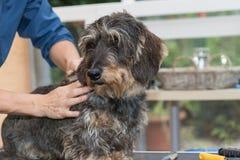 El ajuste del perro basset Imagen de archivo libre de regalías
