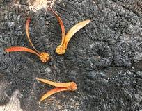 El alatus de Dipterocarpus en el tocón quemado es negro foto de archivo libre de regalías