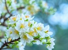 El albaricoque florece la floración en el Año Nuevo lunar de Vietnam Foto de archivo libre de regalías