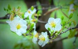 El albaricoque florece la floración en el Año Nuevo lunar de Vietnam Fotografía de archivo