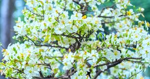 El albaricoque florece la floración en el Año Nuevo lunar de Vietnam Imágenes de archivo libres de regalías