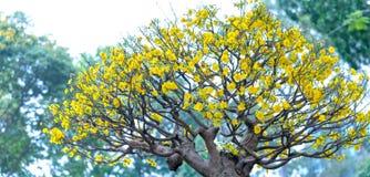 El albaricoque florece la floración en el Año Nuevo lunar de Vietnam Foto de archivo