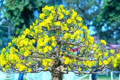 El albaricoque florece la floración en el Año Nuevo lunar de Vietnam Imagen de archivo libre de regalías