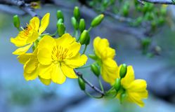 El albaricoque florece la floración en el Año Nuevo lunar de Vietnam Fotografía de archivo libre de regalías