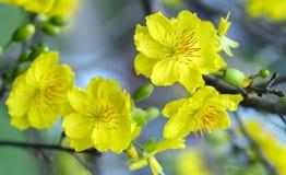 El albaricoque florece la floración en el Año Nuevo lunar de Vietnam Fotos de archivo libres de regalías