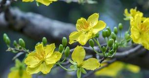 El albaricoque florece la floración en el Año Nuevo lunar de Vietnam Imagen de archivo