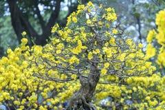 El albaricoque florece la floración en el Año Nuevo lunar de Vietnam Fotos de archivo