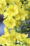 El albaricoque florece la floración en el Año Nuevo lunar de Vietnam Imagenes de archivo