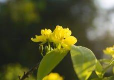 El albaricoque florece planta del ratón de mickey Foto de archivo