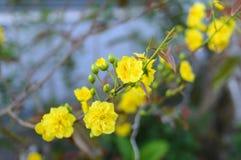 El albaricoque florece planta del ratón de mickey Fotografía de archivo
