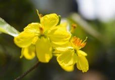 El albaricoque florece planta del ratón de mickey Foto de archivo libre de regalías