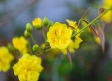 El albaricoque florece planta del ratón de mickey Fotografía de archivo libre de regalías