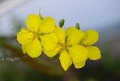 El albaricoque florece planta del ratón de mickey Imágenes de archivo libres de regalías