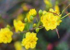 El albaricoque florece planta del ratón de mickey Imagenes de archivo