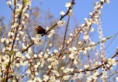 El albaricoque floreció Foto de archivo libre de regalías