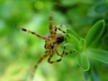El alcanzar de la araña Imágenes de archivo libres de regalías