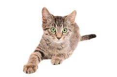 El alcanzar del gatito del gato atigrado Foto de archivo