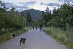 el aldeano que trae sus vacas detrás se dirige de los pastos - montaña de Tarcau - condado de Neamt - montaña cárpata Rumania imagen de archivo