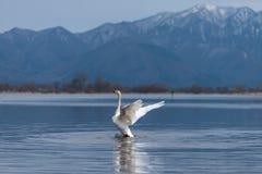 El aleteo del Cygnus del cisne de Whooper se va volando en el agua azul de la laguna o del lago en día soleado imagen de archivo libre de regalías