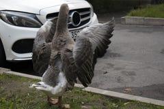 El aleteo marrón divertido del ganso se va volando en la calle urbana fotografía de archivo libre de regalías