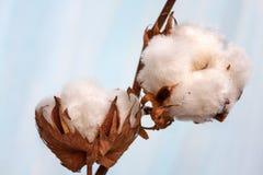 El algodón florece la rama Foto de archivo libre de regalías