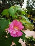 El algodón subió, algodón subió hibisco, rosa confederada, malva color de rosa confederada, rosemallow de Dixie, Rose cambiable,  imagen de archivo libre de regalías