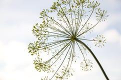 El allium, cierre para arriba, no floreciendo, fondo del cielo, parece un fuego artificial Foto de archivo