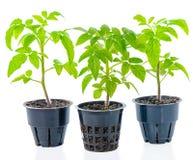 El almácigo joven de las plantas de tomate verdes frescas en maceta es ISO Imagen de archivo