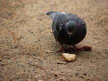 El almuerzo de la paloma condimentado por tacto humano Foto de archivo