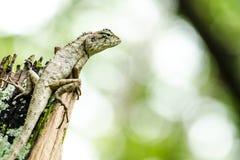 El alticristatus de Calotes Emma es nombre de los spcies del reptil imagen de archivo libre de regalías