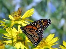 El altos monarca y abeja del parque de Toronto en Ragwort florecen 2017 Fotografía de archivo