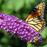 El altos monarca y abeja del parque de Toronto en un buddleja florecen 2017 Foto de archivo libre de regalías