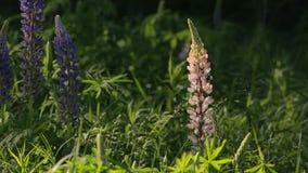El altramuz florece el abejorro junio almacen de video