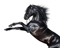 El alzarse andaluz negro del caballo Aislado en el fondo blanco fotos de archivo